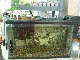 backyard aquaponics for raising tilapia image how to build