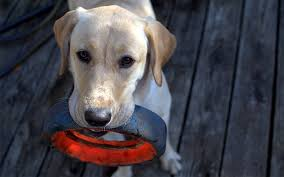 classic dog ring holder images Reviews of the best indestructible dog toys for labradors jpg