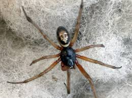 it u0027s spider mating season u2013 so lock up your houses for the false