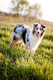 australian shepherd kid friendly australian shepherd breed info u2013 happy doodles place