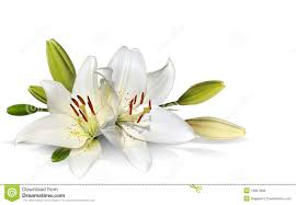 easter lily flowers on white background royalty free stock photos