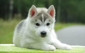 cute puppy wallpapers archives free desktop wallpaper