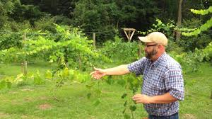 grape muscadine arbor vs trellis youtube