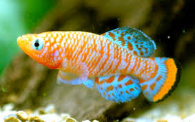 Buy Ornamental Fish Tnau Agritech Portal Sustainable Agriculture