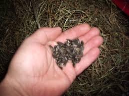feeding rabbits black oil sunflower seeds rise and shine rabbitry