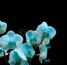 black orchid flower black orchid orchid images stock pictures royalty free
