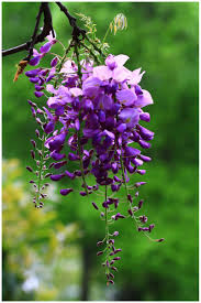 aliexpress com buy 10pc purple wisteria seeds the most beautiful