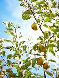 Transplant Fruit Trees - pot a fruit tree