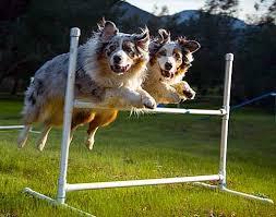australian shepherd agility 180 best agility images on pinterest dog agility agility