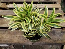 dracaena reflexa plant in 6 inch pot song of india about 12 tall