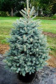 columnar blue spruce individual trees and shrubs