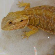breed bearded dragons pictures wikihow