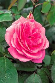 Fragrant Rose Plants Planting David Austin Roses At My Farm The Martha Stewart Blog