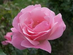 rose bloom blooming flower rose mix