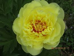 yellow peonies bartzella the peony that is yellow to earth garden club