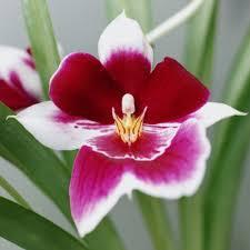 amazingly easy orchid variteies sunset