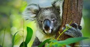 koala protection act needed save koalas