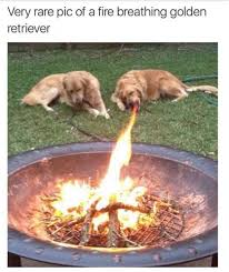Rare Memes - very rare pic of a fire breathing golden retriever png