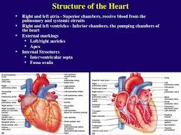 External Heart Anatomy Structure Of Heart