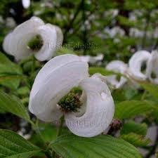 white flowering dogwood florida white fold up bracts 4 seeds flowering dogwood tree