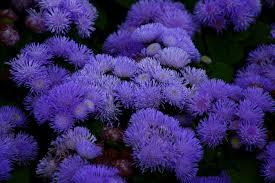 Purple And Blue Flowers File Blue Anemone Flower Virginia Forestwander Jpg Wikimedia
