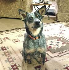 australian shepherd 6 monate fell 13634 besten adoptable dogs bilder auf pinterest tierheim tiere