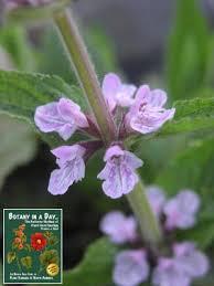 Identify Flowers - lamiaceae mint family labiatae identify plants and flowers