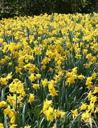 wholesale daffodils 600 yellow daffodil bulbs
