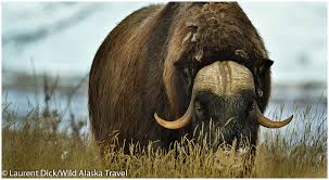 Alaska travel photography images Wild alaska travel polar bear northern lights tour with denali jpg