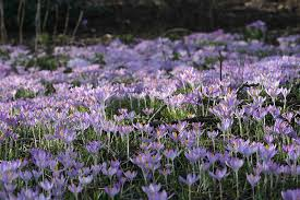 how to naturalize bulbs in a lawn u2013 laidback gardener