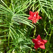 cypress vine info u2013 how to care for cypress vines