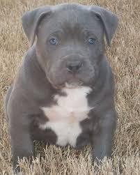 american pitbull terrier in bangalore best 25 pitbull pups ideas only on pinterest pitbull puppy