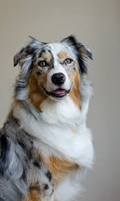 double r australian shepherds that smile beautiful aussie there are 4 different type