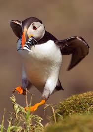 132 best puffins images on pinterest scotland beautiful birds