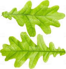 White Oak Leaf Oak Leaf Stock Photo 514740394 Istock