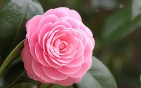 Cute Pink Pictures by Widescreen Beautiful Cute Pink Rose Hd Flower Picture On Pictures