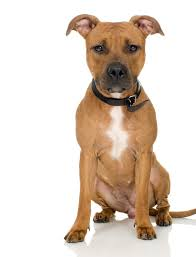 american stanford terrier y american pitbull terrier do they have american pit bull terriers at the westminster dog