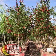 moon valley nursery bottlebrush tree callistemon citrinus