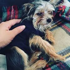 chorkie haircut styles 23 best chorkies images on pinterest yorkie yorkies and