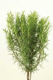 Rosemary Topiary Rosemary Standard On 20cm Stem Top Topiary Herbs Top Topiary