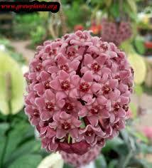 hoya plant growing grow plants