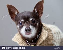 studio photos of a brown chihuahua in a light brown