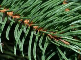 spruce surprisingly edible abundant evergreen tree eat the planet