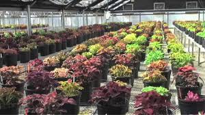 How To Grow Coleus Plants by Coleus Breeding Youtube