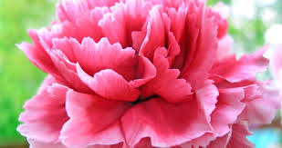 carnations flowers beneva flowers floral facts carnations