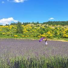 lavender jeep lavender fields forever ishcapades