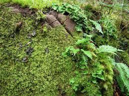 native washington plants polypodium glycyrrhiza wikipedia