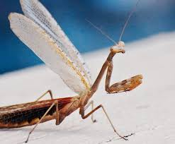 praying mantis in imperial the is