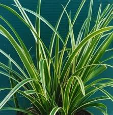evergreen ornamental grasses mike s garden top 5 plants