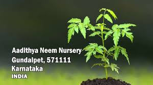 melia dubia plants wholesale suppliers malabar neem malabar